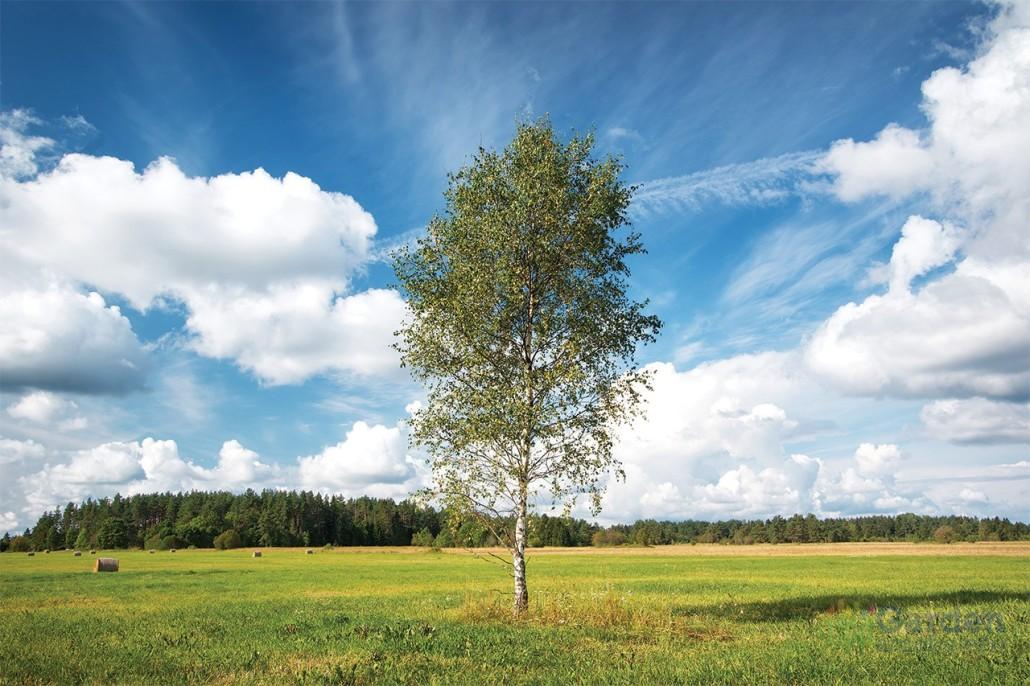 Piante Alto Fusto : Alberi ad alto fusto garden arcobaleno ferrara