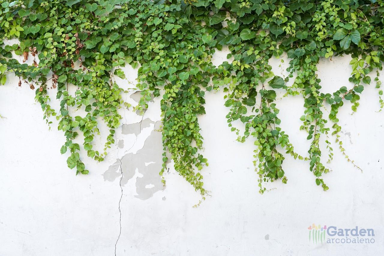 Rampicanti garden arcobaleno ferrara for Piante da frutto rampicanti