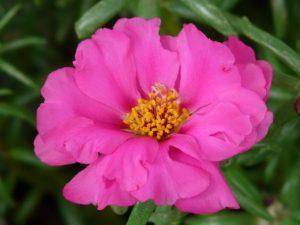 portulaca-grandiflora-9205_1280