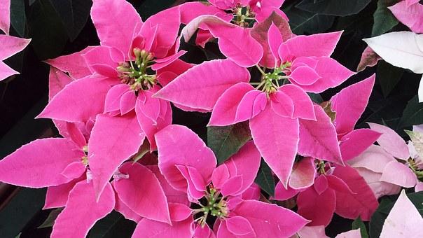 Piante fiorite archivi garden arcobaleno - Come tenere la stella di natale in casa ...