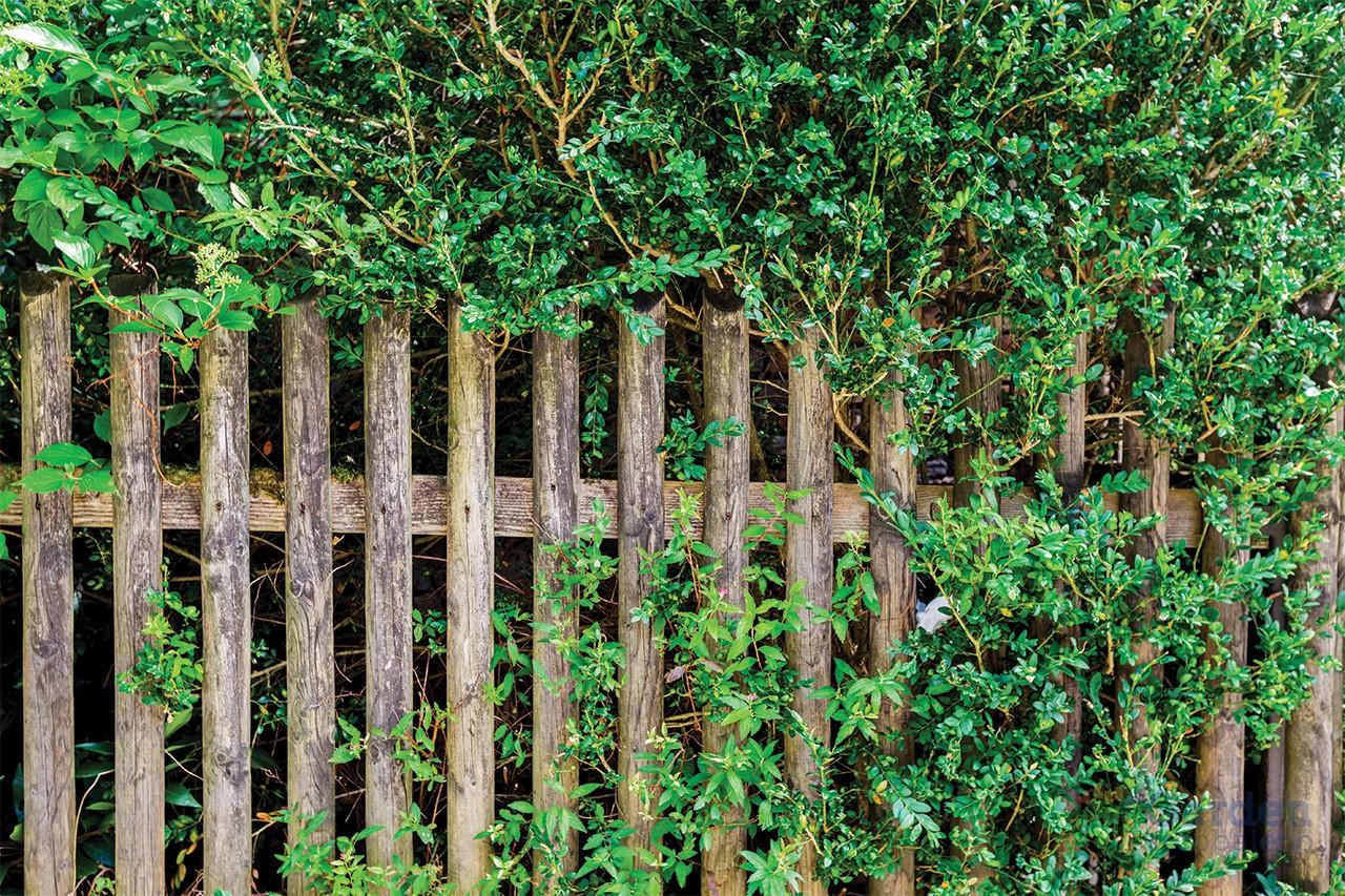 Piante Da Siepi Immagini piante da siepe - garden arcobaleno ferrara