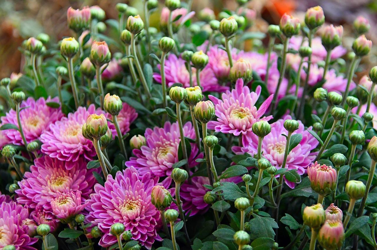 Fiori Perenni Da Balcone crisantemi: non solo il fiore dei defunti - garden arcobaleno