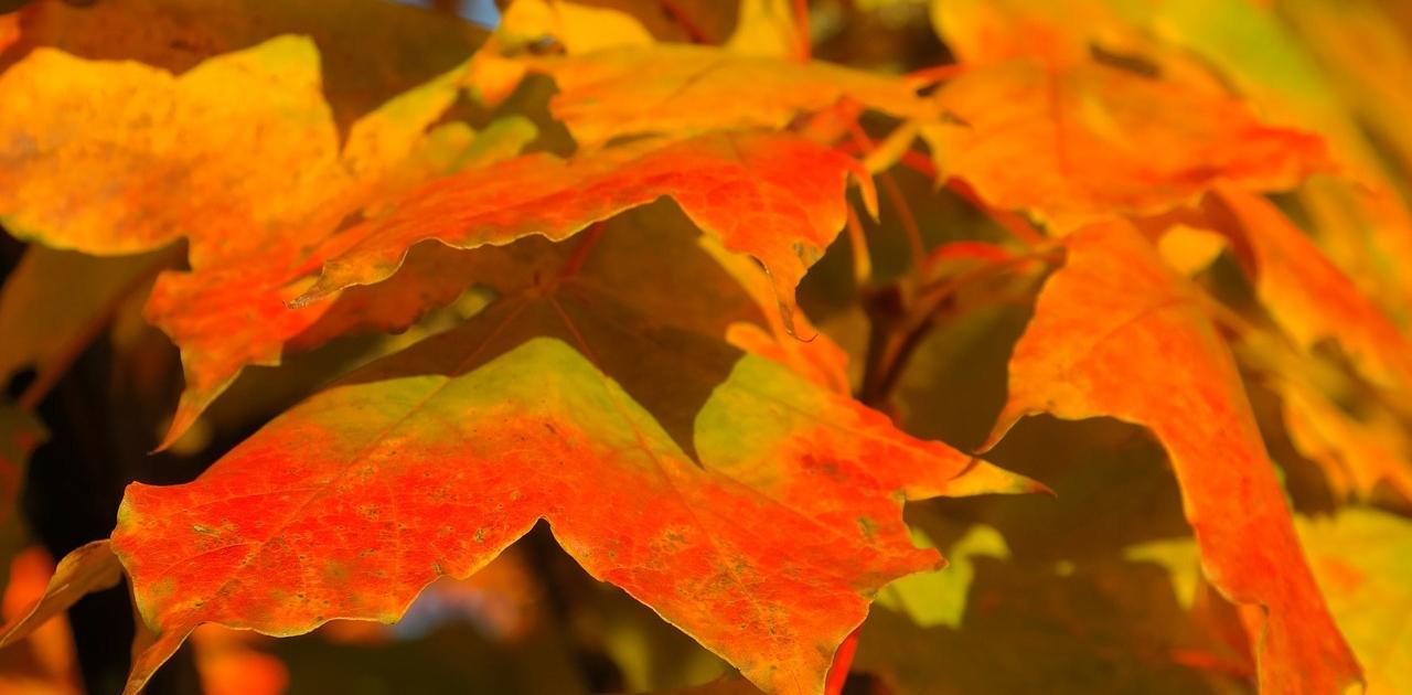 foglie in autunno di acero riccio